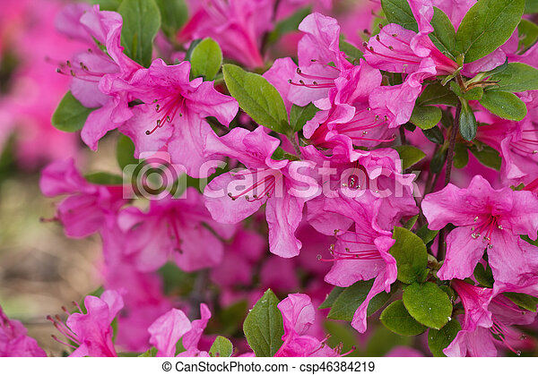 Hot pink rhododendron flowers closeup on a green background hot pink rhododendron csp46384219 mightylinksfo
