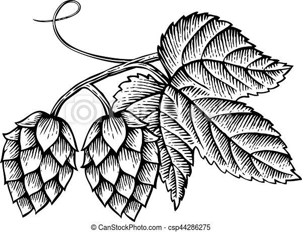 houblon, vendange, feuilles, illustration, vecteur, (hand, dessiné, style), gravé, icône - csp44286275