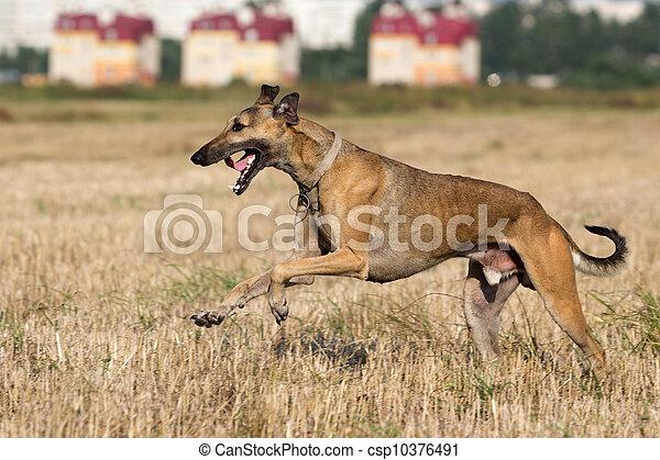 Hound dog run in field - csp10376491