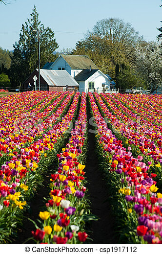 House at the end of a row of tulips - csp1917112
