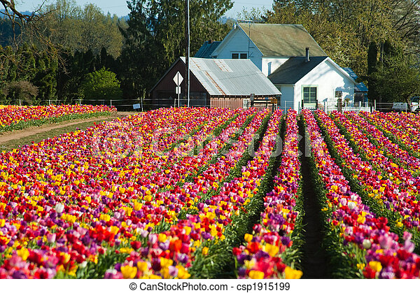 House at the end of a row of tulips - csp1915199