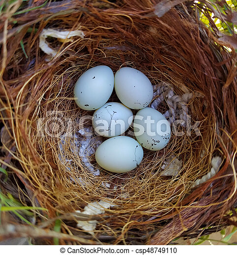 House Finch Eggs - csp48749110
