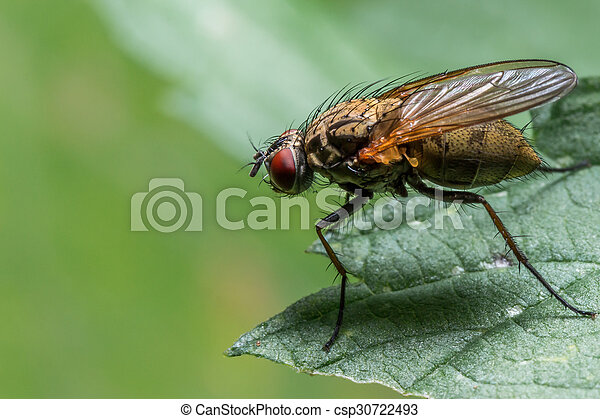 House Fly on Green Leaf - csp30722493