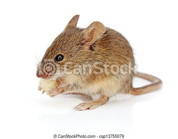 House mouse eating cheese (Mus musculus) - csp13755079