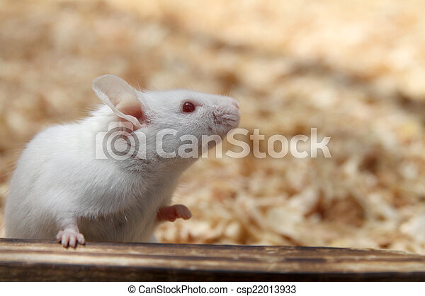House mouse - csp22013933