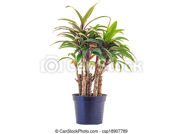 house plant in a pot isolated on white - csp18907789