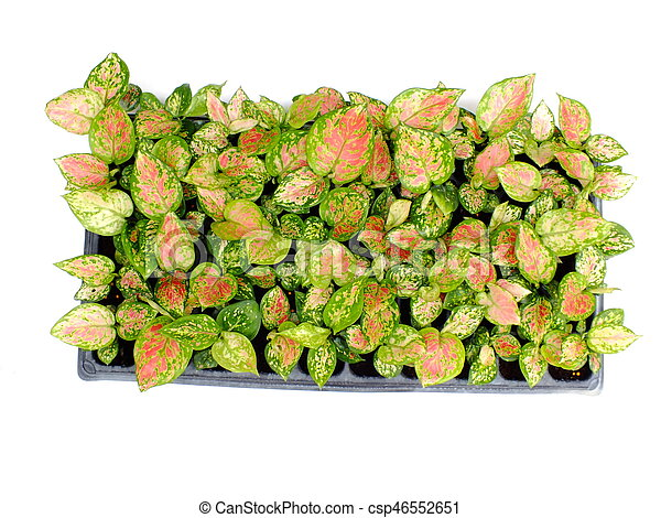 house plant isolated on white background - csp46552651