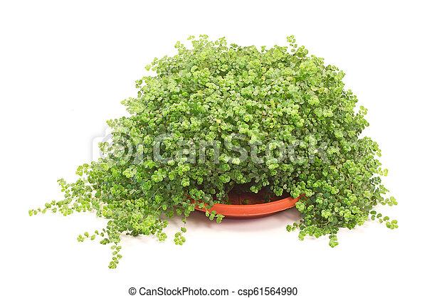 House plant isolated on white background - csp61564990