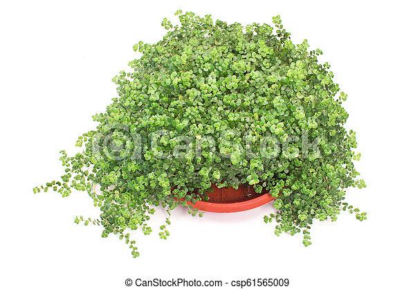 House plant isolated on white background - csp61565009