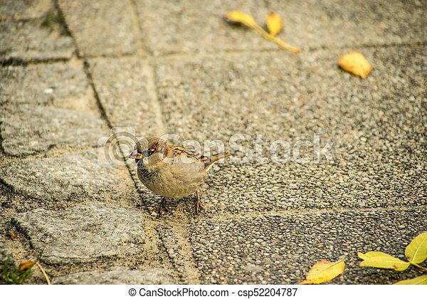 house sparrow in a pedestrian area - csp52204787