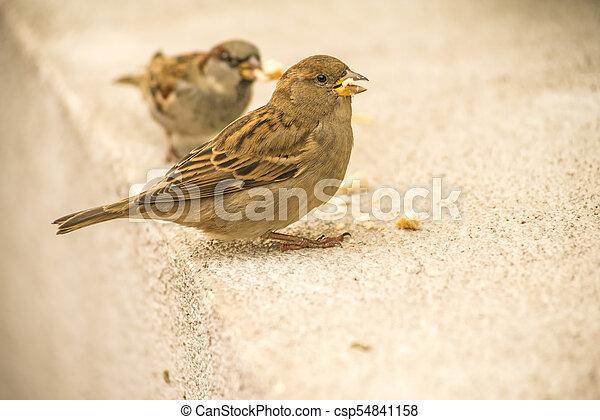 house sparrow in a pedestrian area - csp54841158