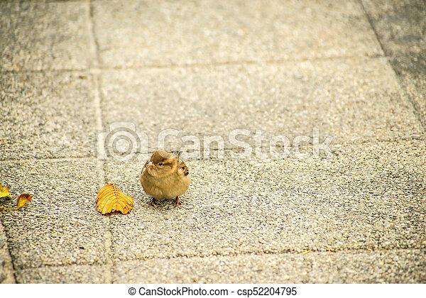 house sparrow in a pedestrian area - csp52204795