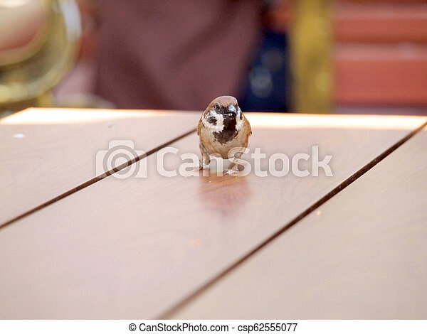 house sparrow standing on table - csp62555077