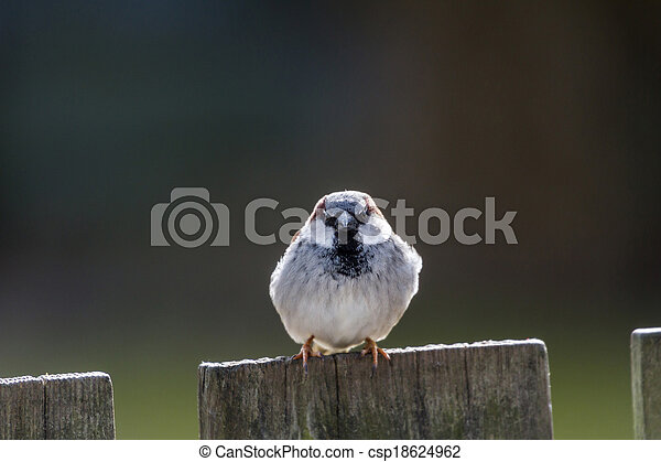 House Sparrow - csp18624962