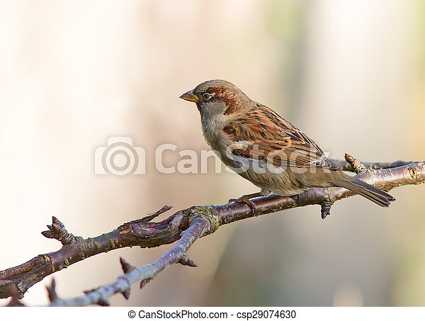 House Sparrow - csp29074630