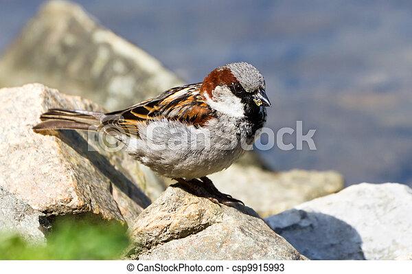 House Sparrow - csp9915993