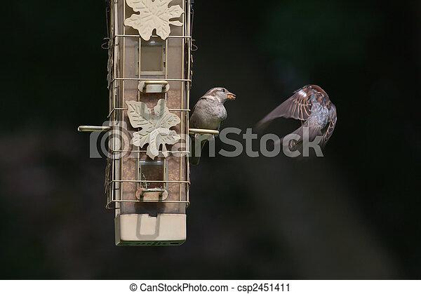 House wrens at the bird feeder - csp2451411