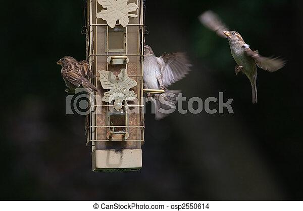 House wrens at the bird feeder - csp2550614