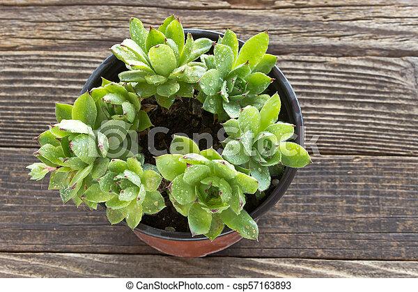 Houseleek plant in pot on wooden background - csp57163893