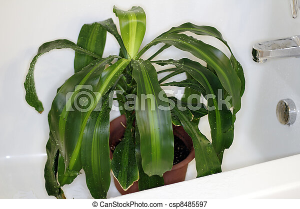 Houseplant Drying in the Tub - csp8485597