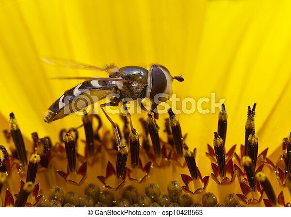 Hoverfly In a Sunflower - csp10428563