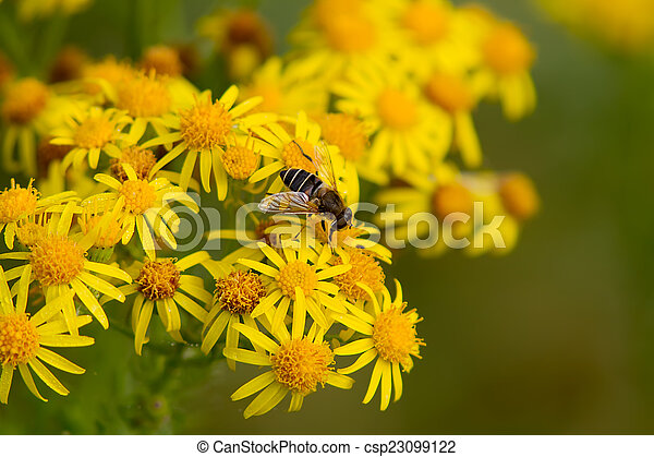 Hoverfly on Wildflower - csp23099122