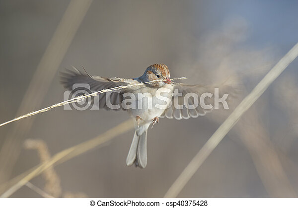 Hovering FIeld Sparrow - csp40375428