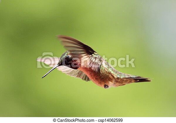 Hovering Hummingbird - csp14062599