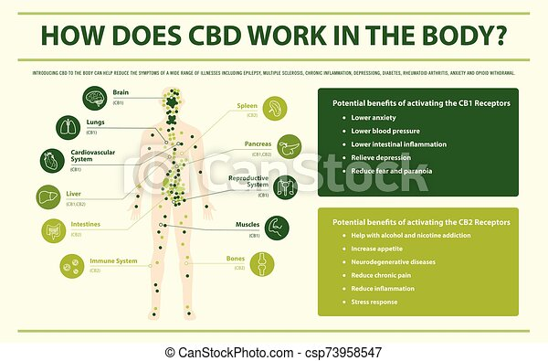 How Does CBD Work in the Body horizontal infographic - csp73958547