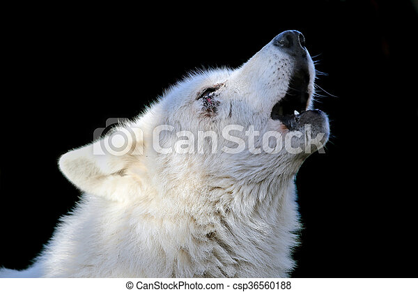 Howling wolf - csp36560188