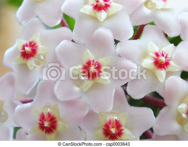 Hoya flowers - csp0003643