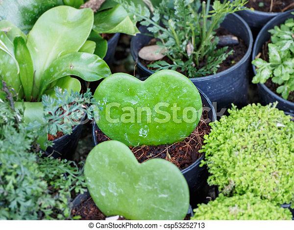 Hoya Kerrii Hoya Kerrii Or Heart Shaped Plant At Plant Market