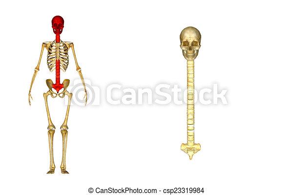 Hueso, melé, espalda, cráneo. Cuña, esqueleto, triangular, superior ...