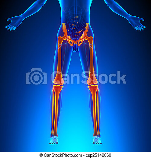 Huesos, anatomía, piernas.
