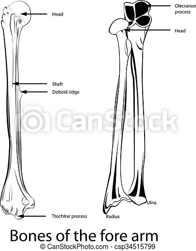 Huesos, brazo, delantero. Capas, ser, todos, elementos, separado ...