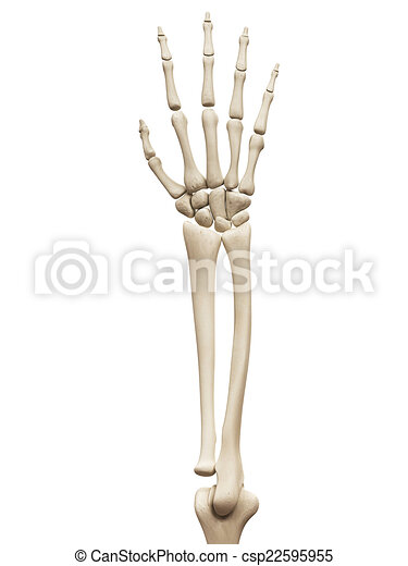Huesos, brazo. Anatomía, huesos, músculo, -, brazo.