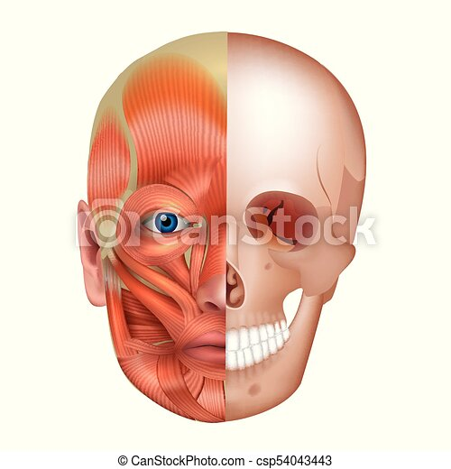 Huesos, músculos, cara. Detallado, músculos, aislado, cara, anatomía ...