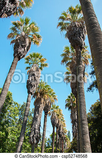 Huge old palm trees in the park. - csp52748568
