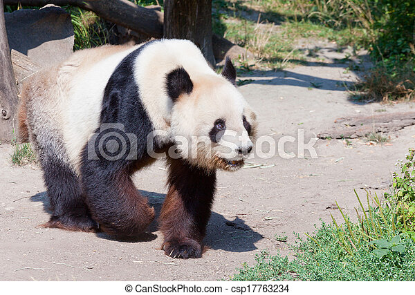 huge panda a bear - csp17763234