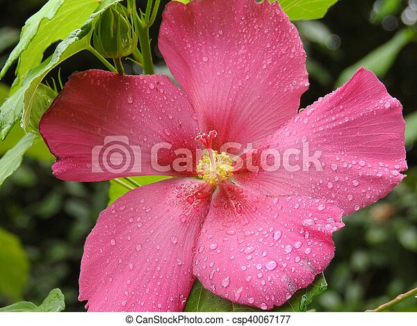 Huge Pink Flower With Rain Drops Close Up Picture