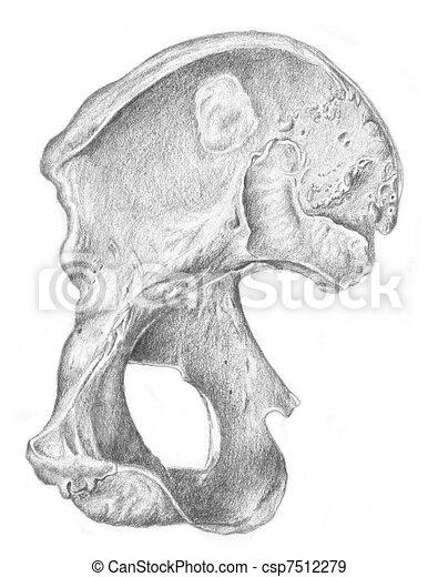 Human Anatomy Bone Of The Hip A Sketch Of Human Anatomy