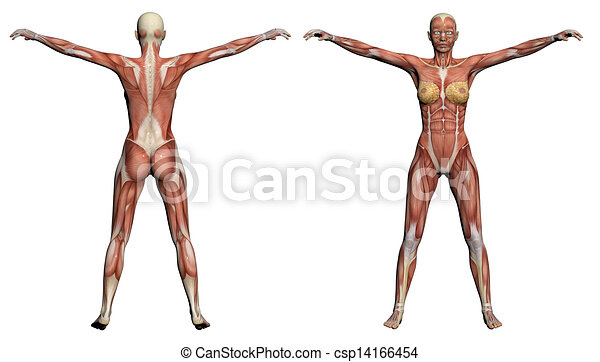 Human anatomy - female muscles made in 3d software.