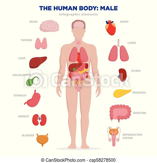 Human anatomy infographic elements with set of internal organs human anatomy infographic elements with set of internal organs isolated on white background and placed in male body man reproductive organs with boy ccuart Images