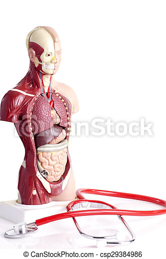 Human Anatomy Model And Stethoscope Used For Teaching Students And