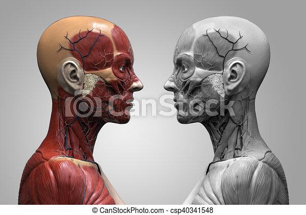 Human Anatomy Of A Female Human Anatomy Muscle Anatomy Of The