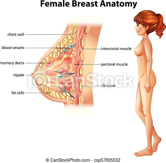 Human Anatomy Of Female Breast Illustration