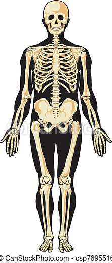 Human anatomy. Skeleton   - csp7895516