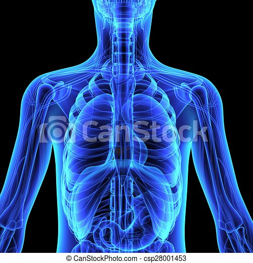 Human anatomy. In mammals, the skin is an organ of the integumentary ...