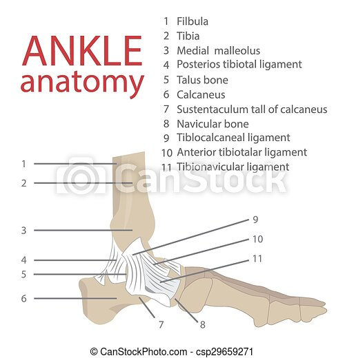 Vector illustration of human ankle anatomy. bones and tendons. with ...