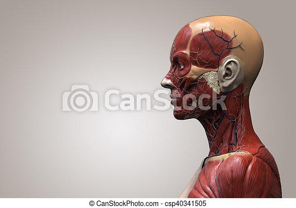Human Body Anatomy Of A Female Human Anatomy Of A Female Anatomy